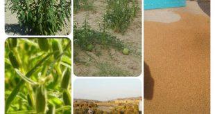 خرید و فروش دانه روغنی کنجد ایرانی